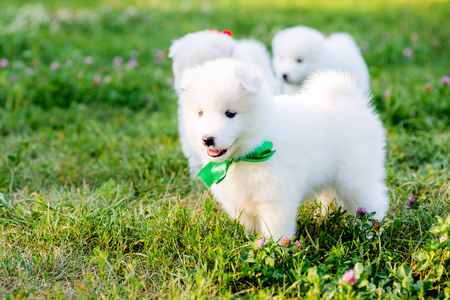 herder: funny puppies of Samoyed dog , or Bjelkier Stock Photo