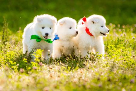 grappig puppy van Samoyed hond, of Bjelkier Stockfoto