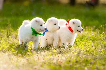 Cuccioli di cani Samoiedo divertenti, o Bjelkier Archivio Fotografico - 61826982