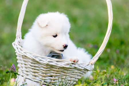 Samoyed puppies sitting in a basket, one month old