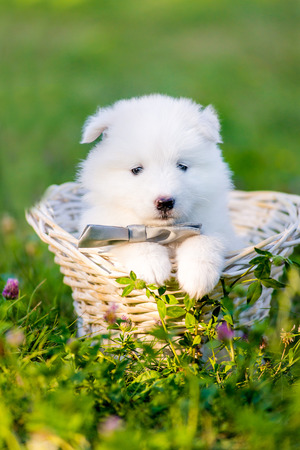 siberian samoyed: Samoyed puppies sitting in a basket, one month old