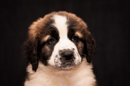 watchdog: portrait of a puppy Moscow watchdog on a black background