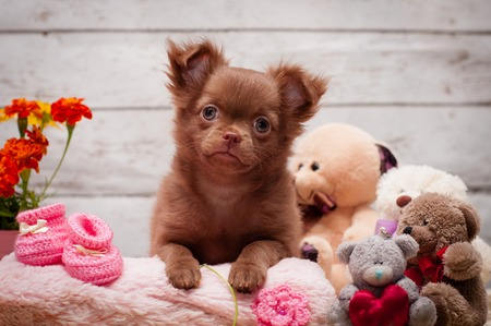 adorable chihuahua puppy sitting on a blanket on a light background