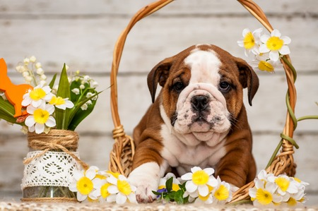 stitting: English bulldog puppy in a basket with flowers Narciso
