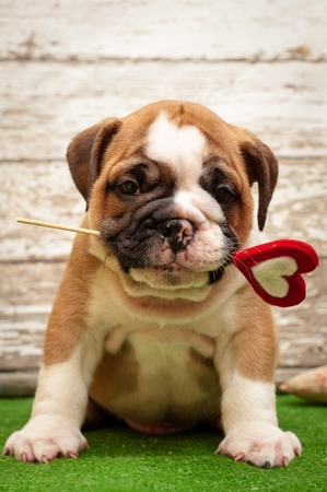 English bulldog puppy with a heart in his mouth. Subject Valentines Day