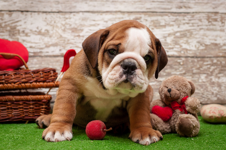 stitting: English bulldog puppy on a light background. Subject Valentines Day Stock Photo