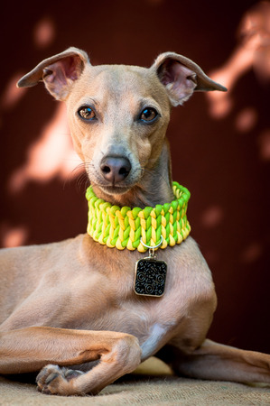 The portrait of a dog of breed the Italian Greyhound of brown color who lies and watches forward on a neck a medal with osheynok Stock Photo
