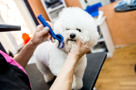 groomer: A small beautiful and adorable white bichon frise dog being groomed by a professional groomer using special products Stock Photo