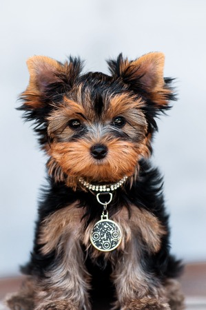 yorkshire terrier puppy the age of 3 month on a light background