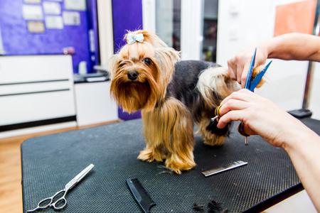 coif: Grooming Yorkshire Terrier professional hairdresser. Hairdresser mows Yorkshire Terrier fur on the ear with a trimmer