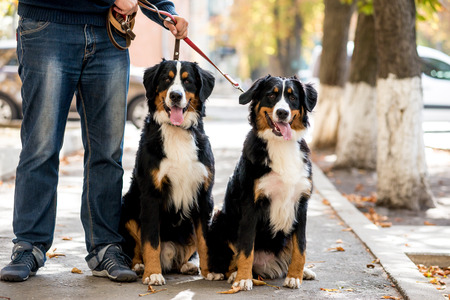 Two bernese mountain puppies lying on the leaves in autumn Stock Photo
