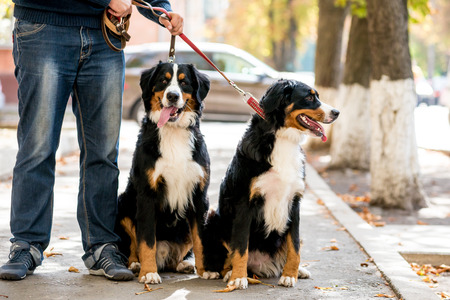 Two bernese mountain puppies lying on the leaves in autumn Standard-Bild