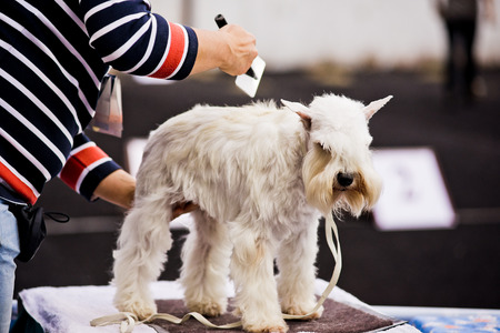 groomer: Groomer combing Miniature Schnauzer before dog show Stock Photo