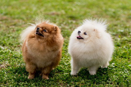 pom: nice red and white Pomeranian spitz dog on the green grass Stock Photo