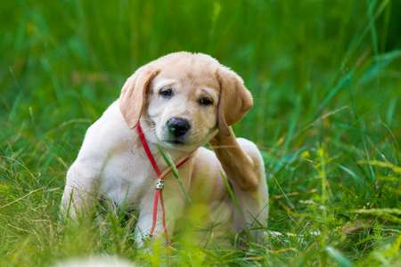 Puppy Retriever Scratching fleas in the park Stok Fotoğraf - 64387121