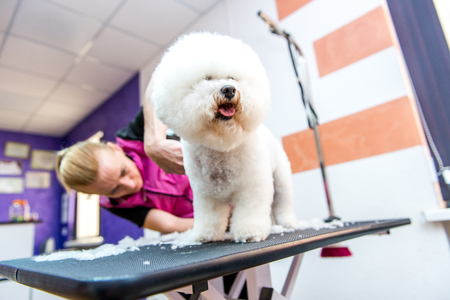smoothen: A small beautiful and adorable white bichon frise dog being groomed by a professional groomer using special products Stock Photo