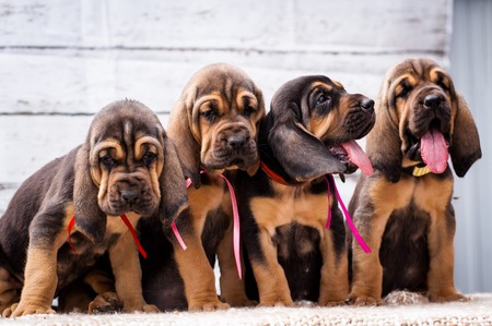bloodhound: Beautiful puppies Bloodhound on a light background. Four bloodhound puppy Stock Photo