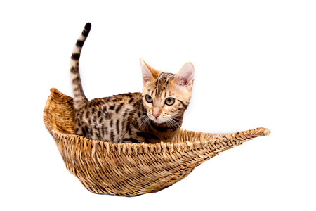 purebred bengal kitten in the basket. isolated on white background Stock Photo
