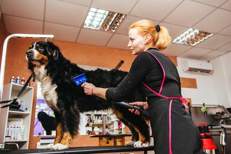 groomer: Female groomer does haircut and drying hairdryer dog breed Bernese Mountain