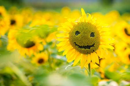 Girasoli sorridenti su un campo di girasoli in estate, in una giornata di sole Archivio Fotografico - 75166560