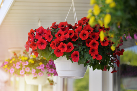 Baskets of hanging petunia flowers on balcony. Petunia flower in ornamental plant.