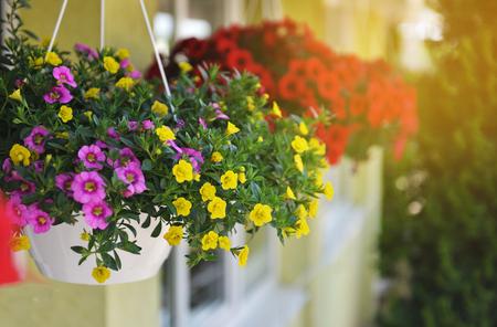 Manden met hangende petuniabloemen op balkon. Petuniabloem in sierplant. Stockfoto