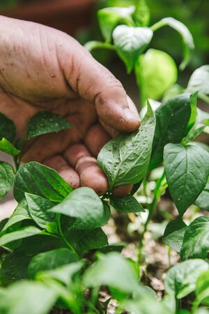 droppers: Plant disease and Aphids on young plants, pepper seedlings