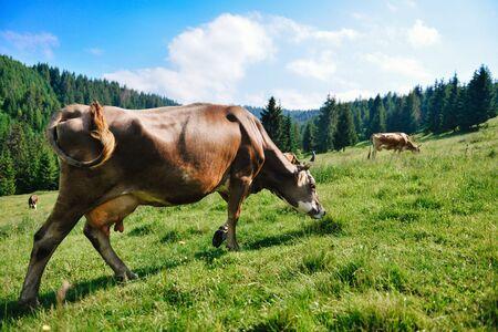 carpathians: Grazing cow
