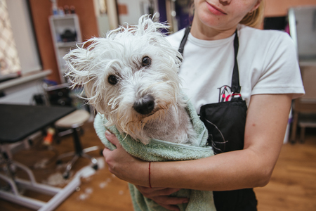 dog grooming: Grooming West Highland White Terrier professional hairdresser. Hairdresser mows Yorkshire Terrier fur on the ear with a trimmer Stock Photo