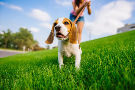 Dog on green meadow. Beagle puppy walking. Dog beagle for a walk 免版税图像
