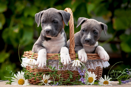Amstaff puppies in a basket. Puppies, wicker basket