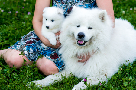 Family of two Samoyed dogs. Samoyed puppy and adult