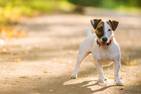 Jack Russel terrier walking in the park in autumn Stock Photo