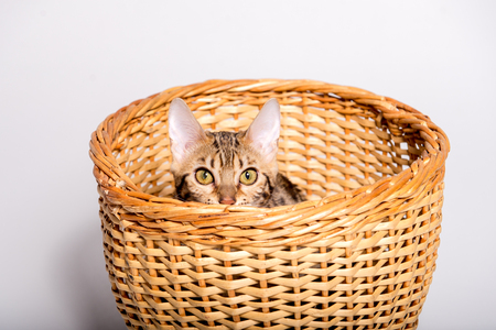purebred bengal kitten in the basket. isolated
