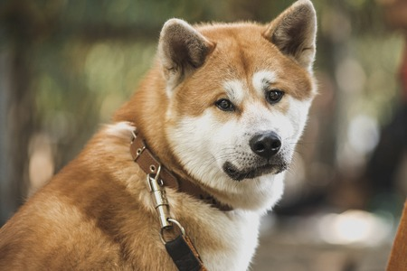 Beautiful akita dog is standing in nature in park outdoors. Stockfoto