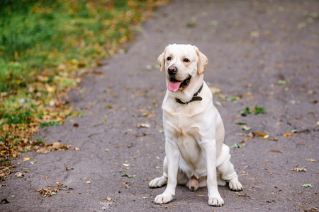 Labrador dog outdoors the autumn Imagens - 113574233