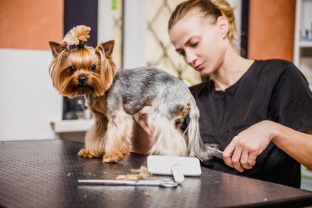 Hairdresser mows Yorkshire Terrier fur on the ear with a trimmer Imagens - 112445202