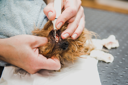 Ultrasonic cleaning of teeth in a dog. Veterinarian dentist is cleaning teeth from a dog, the animal is under anesthesia in a veterinary clinic. Veterinary stomatology, cleaning teeth from plaque and