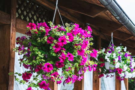 Baskets of hanging petunia flowers on balcony. Petunia flower in ornamental plant. Banco de Imagens - 113574263