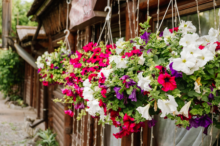 Baskets of hanging petunia flowers on balcony. Petunia flower in ornamental plant. Banco de Imagens - 113574265