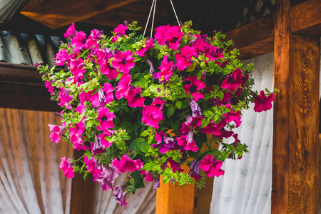 Baskets of hanging petunia flowers on balcony. Petunia flower in ornamental plant. Standard-Bild - 113700845