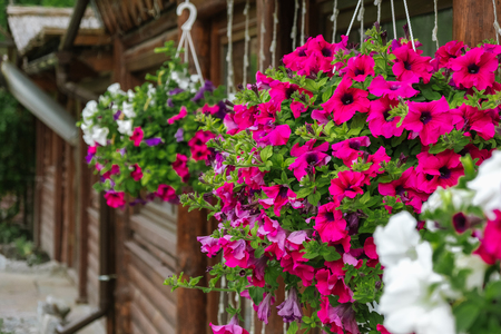 Baskets of hanging petunia flowers on balcony. Petunia flower in ornamental plant. Zdjęcie Seryjne - 113700850