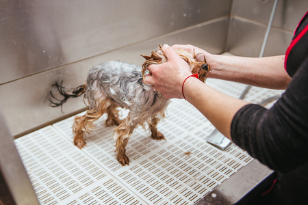 washing yorkshire terrier in front of haircut professional hairdresser. dog wash before shearing Zdjęcie Seryjne