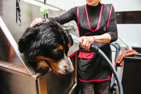 dog wash before shearing. Berner Sennenhund