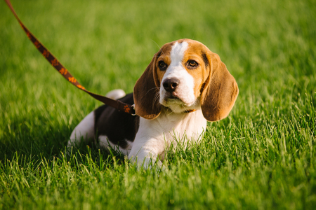 Dog on green meadow. Beagle puppy walking Banque d'images - 121338111