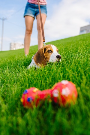 Beautiful dog puppy beagle playing with rubber toy on grass