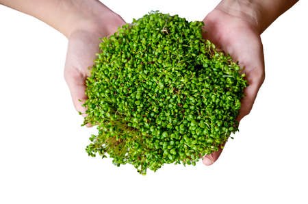 Fresh microgreen clover in hands on white background