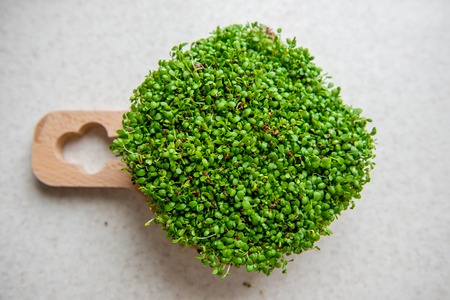 Fresh microgreen clovers on a round cutting board on a gray concrete background. Nature and healthy nutrition, diet, eco concept.