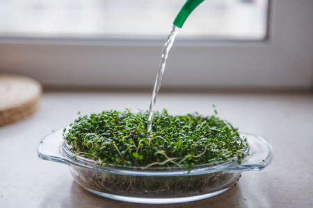 microgreen care and watering Фото со стока