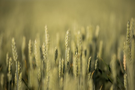 Green ears of wheat. Background wheat field